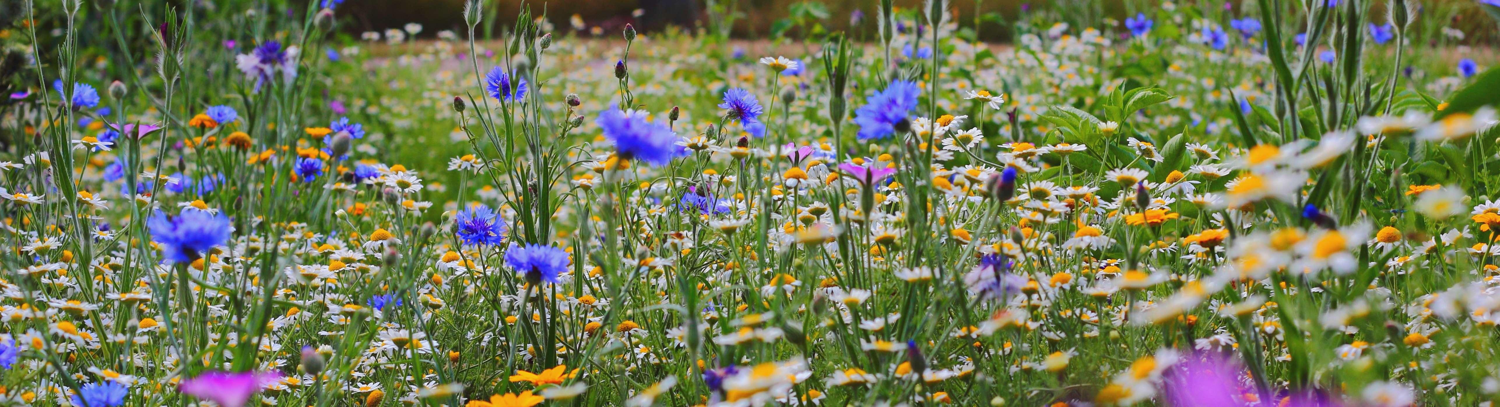 Semence florale, fourragère et gazon
