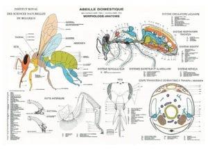 Poster Anatomie de l'abeille domestique