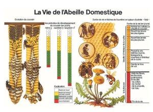 Poster La Vie de l'Abeille Domestique