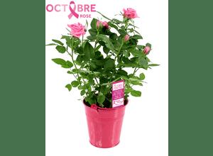 Mini rosier en pot