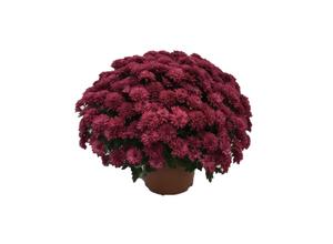 Chrysanthème Pompon 35/45 - pot 19