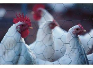 Grillage poule triple torsion 25-2M00 50M