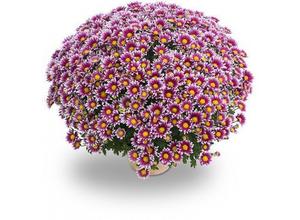 Chrysanthème Pompon 35/40 - pot 17/19 cm