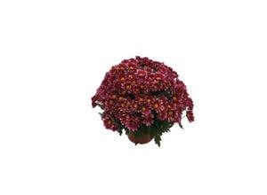 Chrysanthème Pompon 50/60 - pot 19 cm