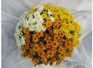 Chrysanthème pompon tricolore