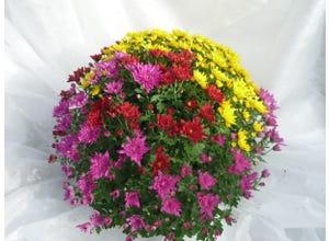 Chrysanthème pompon tricolore - coupe 23 cm