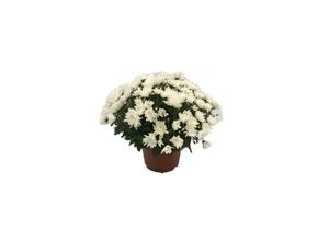 Chrysanthème Pompon 30/30 - pot 15/17