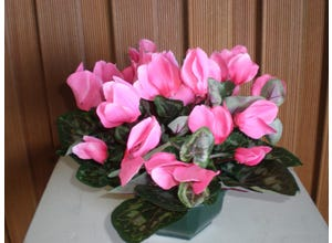 Coupe cyclamen
