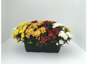 Chrysanthème multicolore - jardinière 40 cm