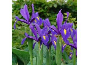 Iris Hollandica Blue Magic (x25)