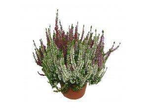 Bruyère tricolore en pot