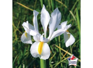 Iris Hollandica Saturnus (x25)