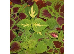 Coleus freaky leaves