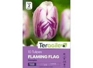 Tulipe Flaming Flag Triomphe (x10) - TERAGILE
