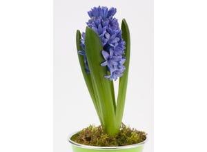 Jacinthe en pot 9 cm