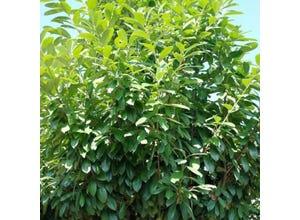 Laurier cerise - Prunus laurocerasus Novita C4L GT