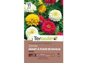 Zinnia Géant à Fleur de Dahlia Varié