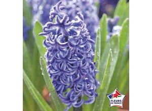 Jacinthe de Bretagne Bleu de Delft (x5)