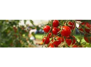 Tomate Crokini