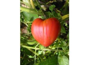 Tomate greffé Coeur de boeuf