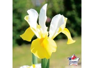 Iris Hollandica Apollo (x25)