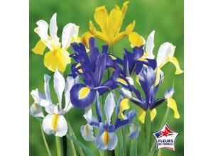 Iris Hollandica variés (x25)