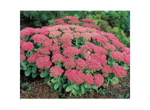 Collection de sedum