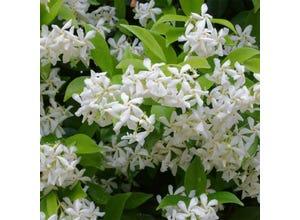 Trachelospermum monocolor