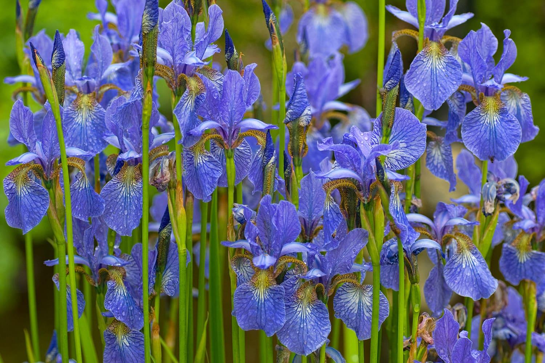 fleur bleue iris jardin