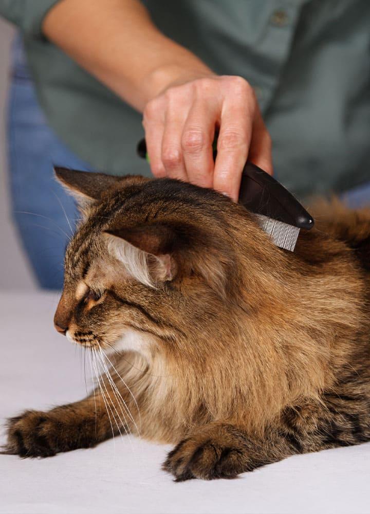 brossage des poils chat