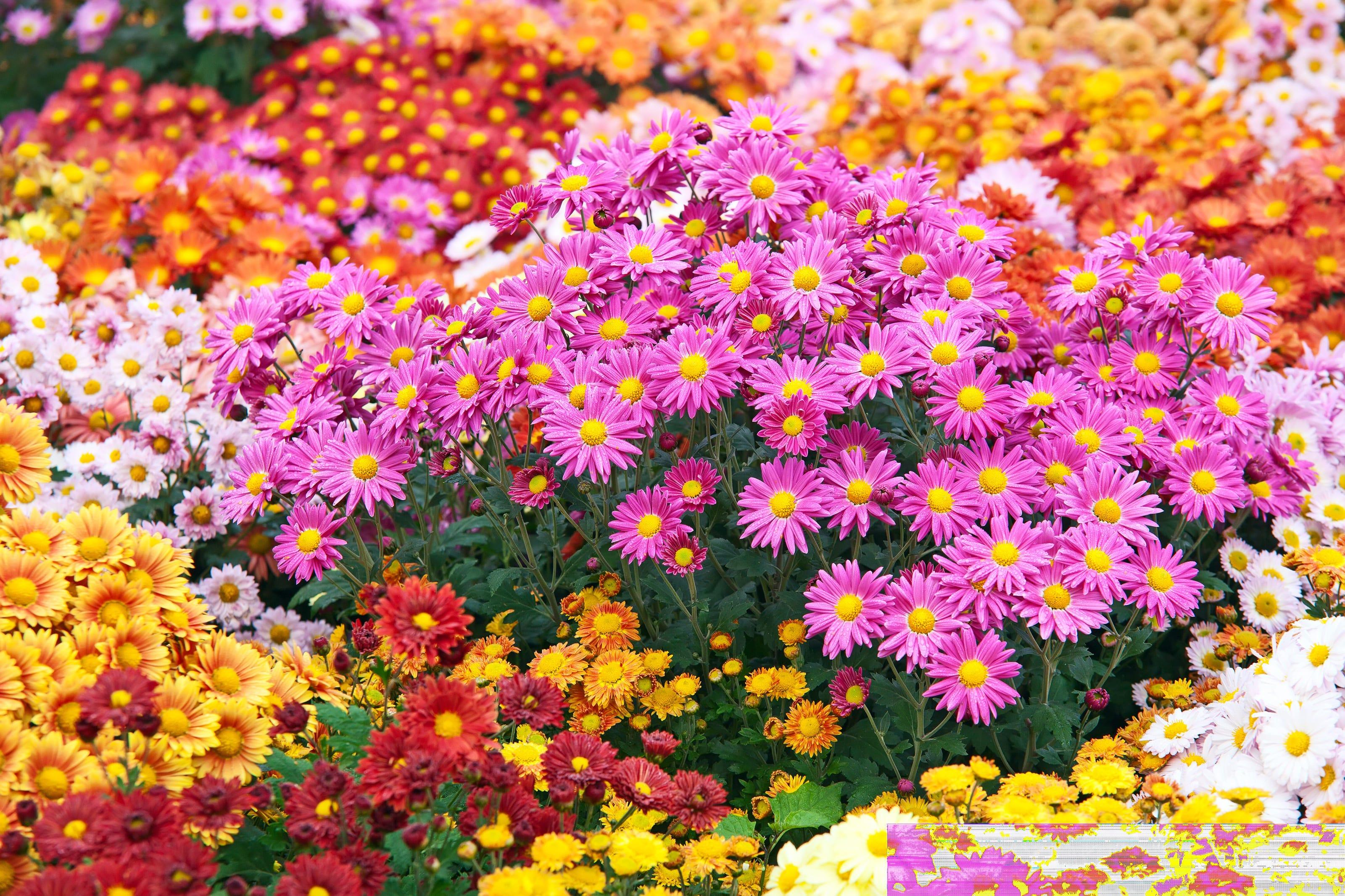 fleur chrysanthème jardin