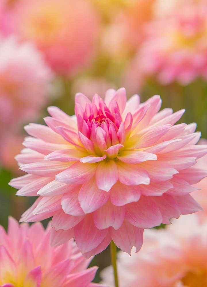 jardin avec dahlias roses fleuris