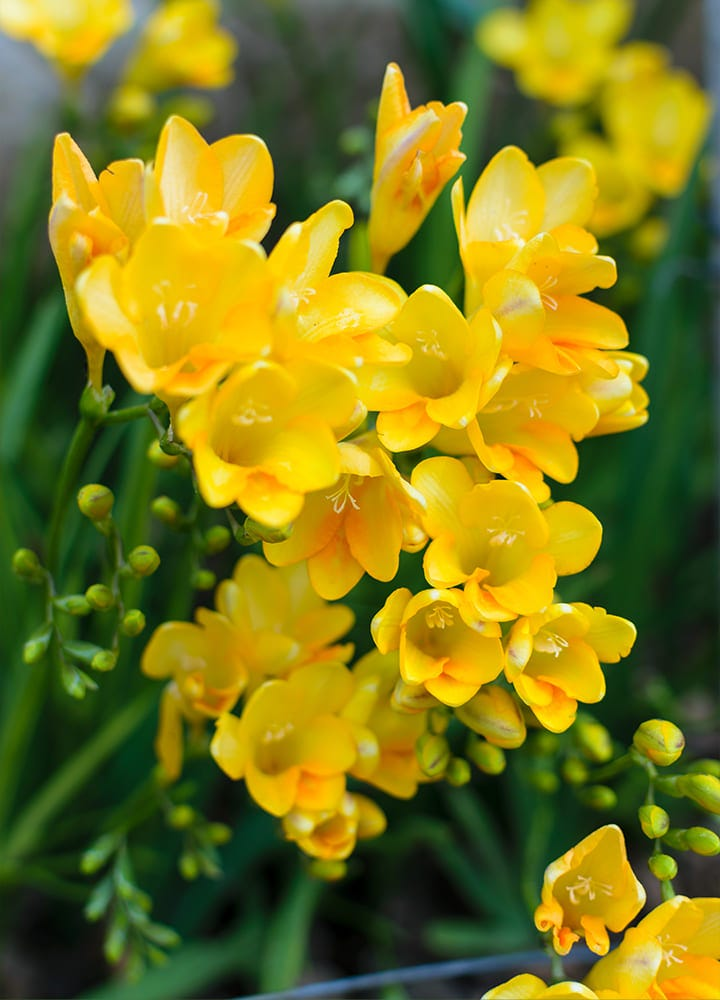 jardin avec freesia fleuris