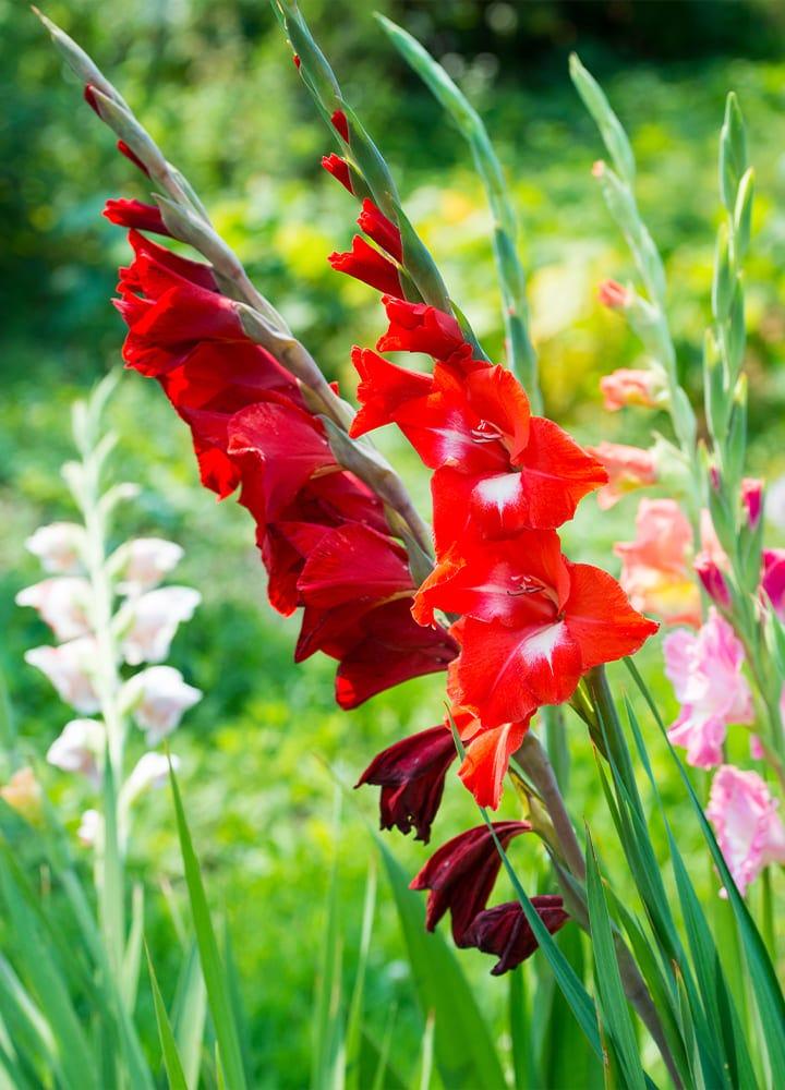 jardin avec glaieuls rouges fleuris