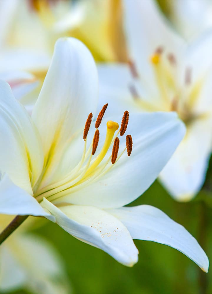 jardin avec lys blancs fleuris