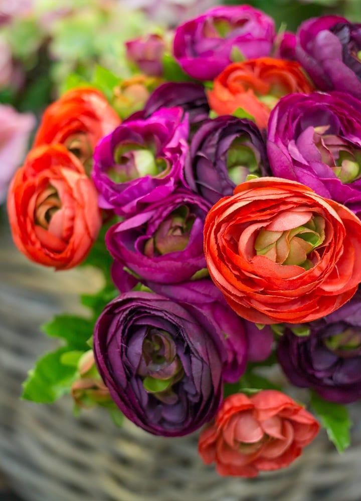 jardin avec renoncules rouge et violettes fleuries
