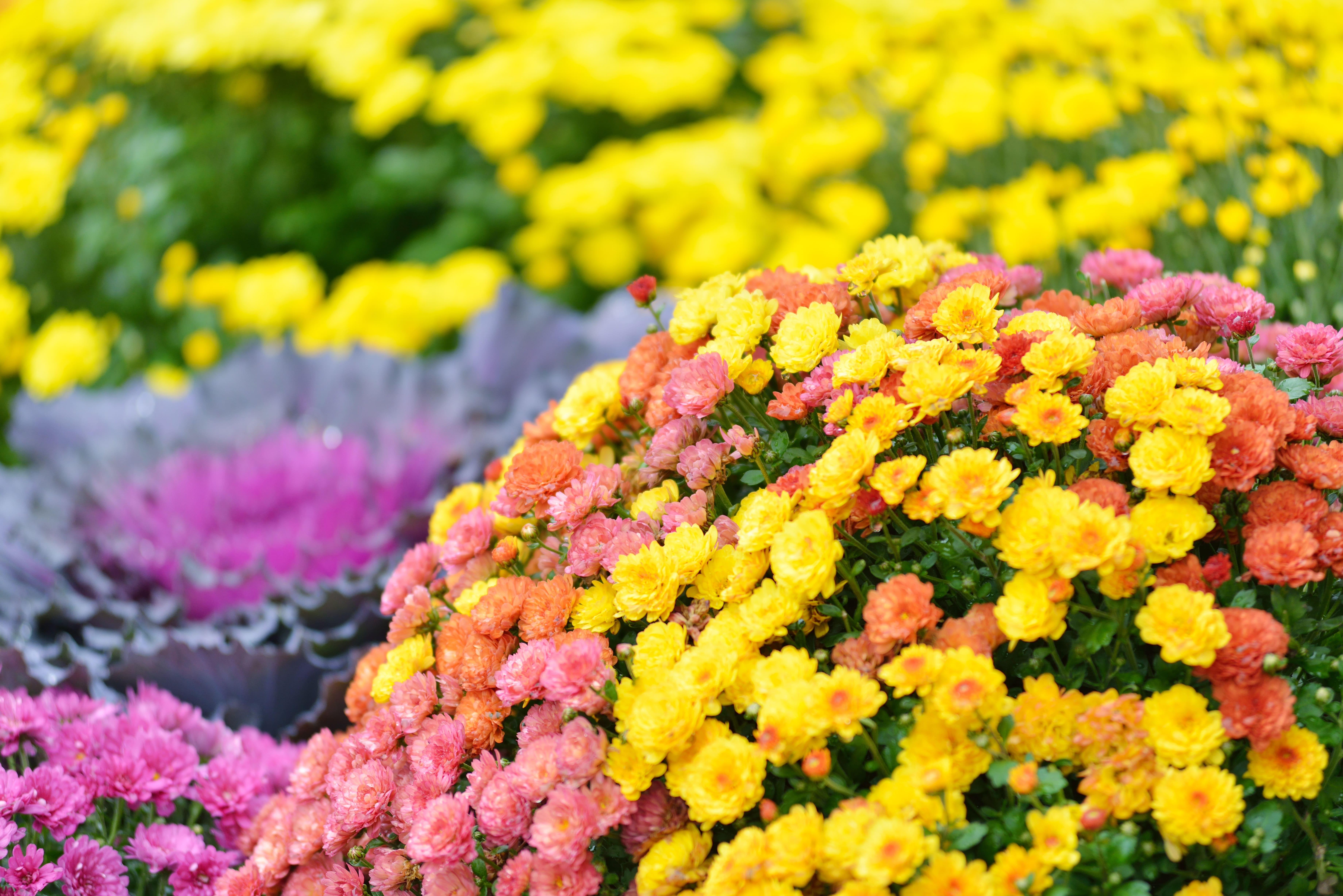 entretien chrysanthème fleur