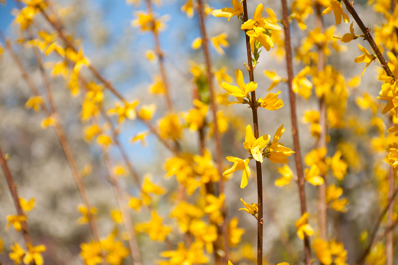fleur jaune forsythias jardin