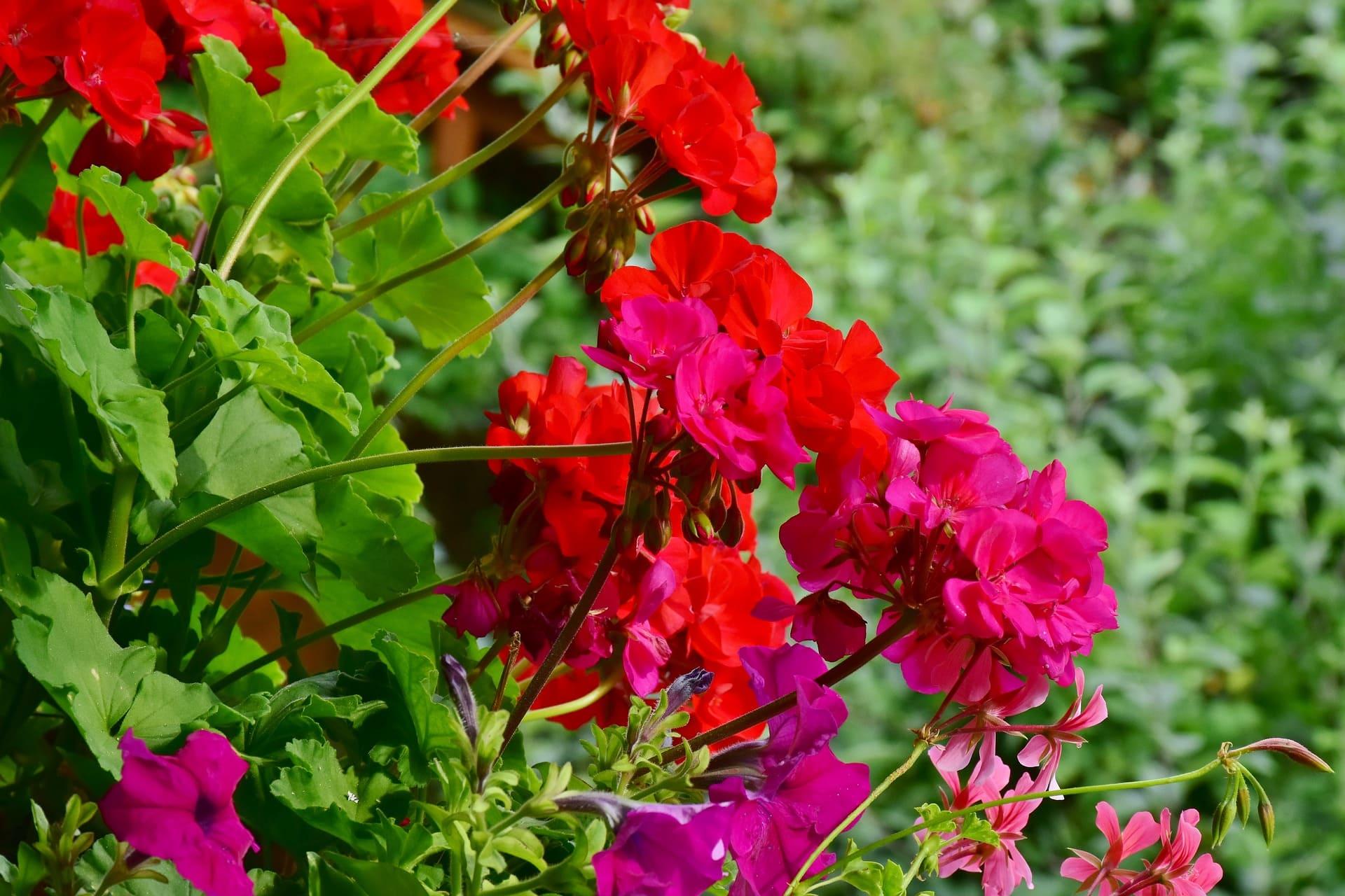 jardinière géranium entretien
