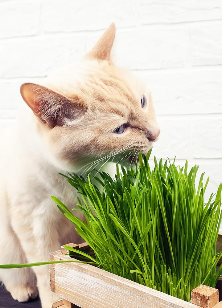 herbe à chat appartement