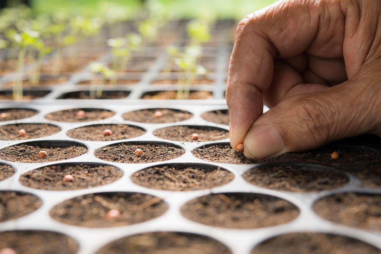 plantation graines bac à semis