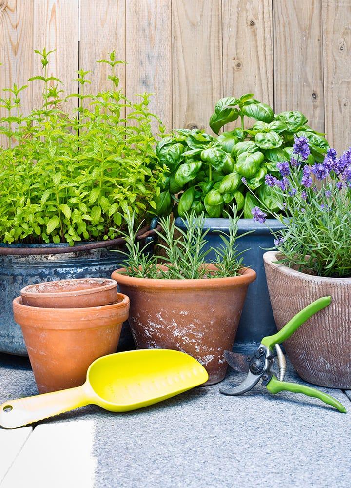 plantations aromatiques en pot