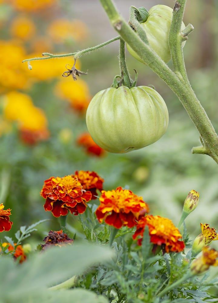 œillet d'inde plante utile répulsif pucerons