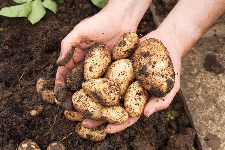 plantation pomme de terre potager