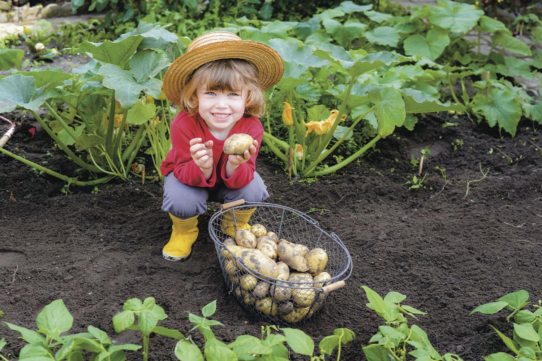 pomme de terre potager enfant