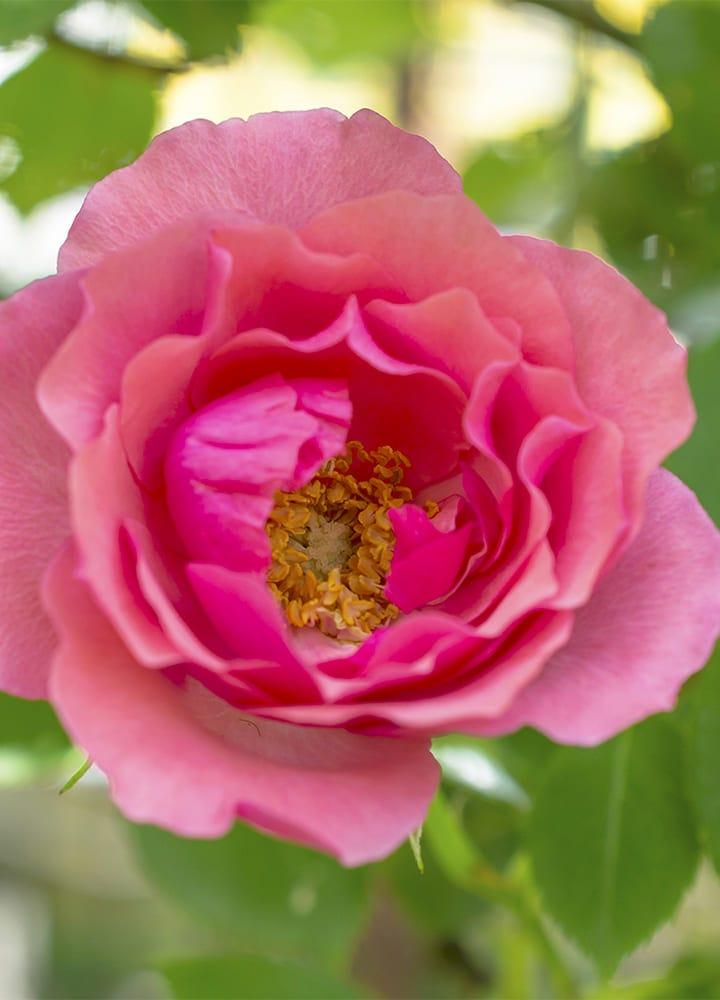 plantation rosier botanique