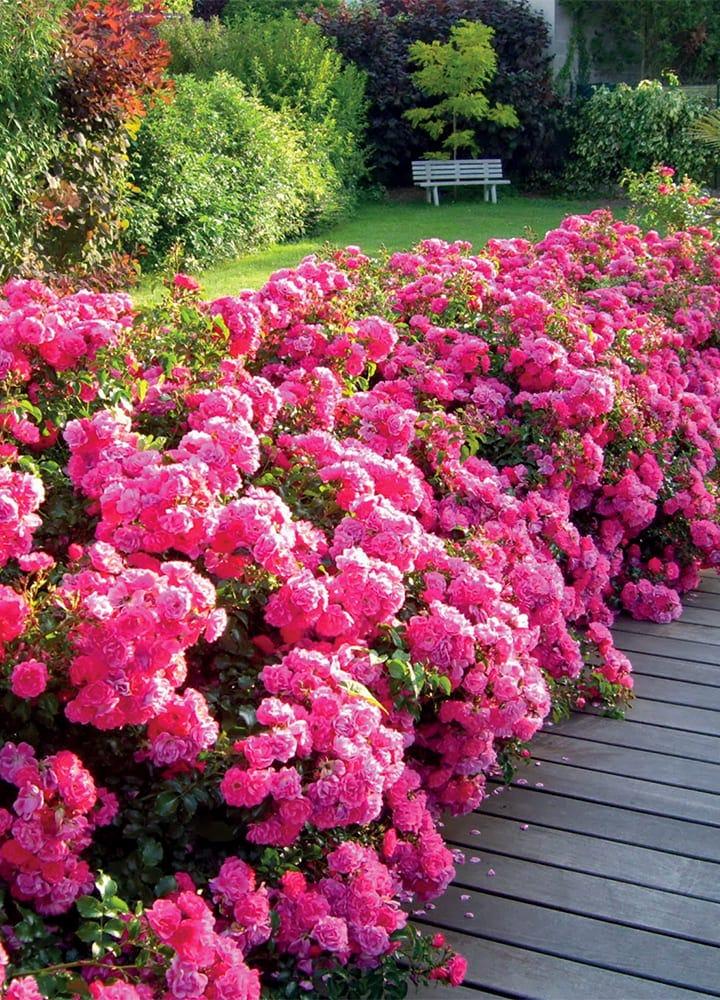 plantation rosier couvre sol