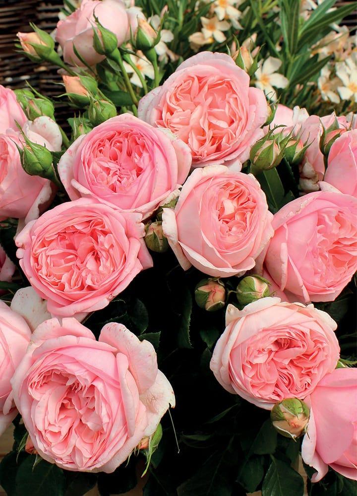 plantation rosier grandes fleurs