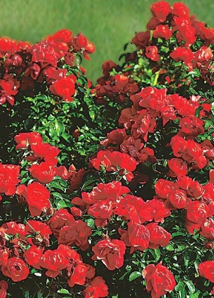 plantation rosier pour massif
