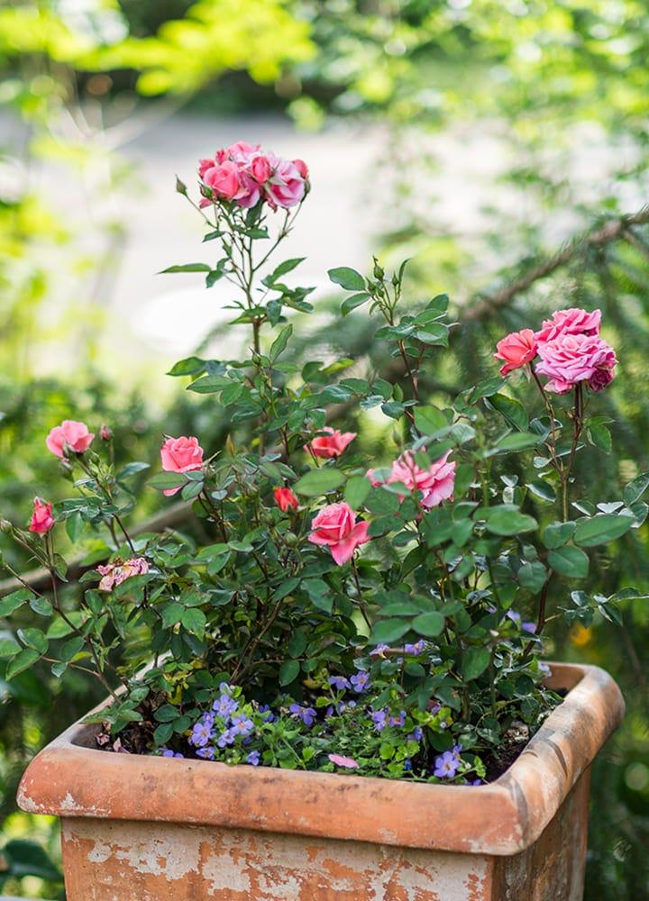plantation rosier miniature